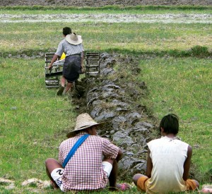 Paddy Field Plougher near Inle Lake Myanmar (Burma)