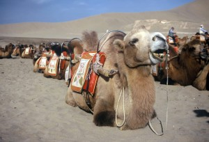 Camels awaiting passengers at Dunhuang