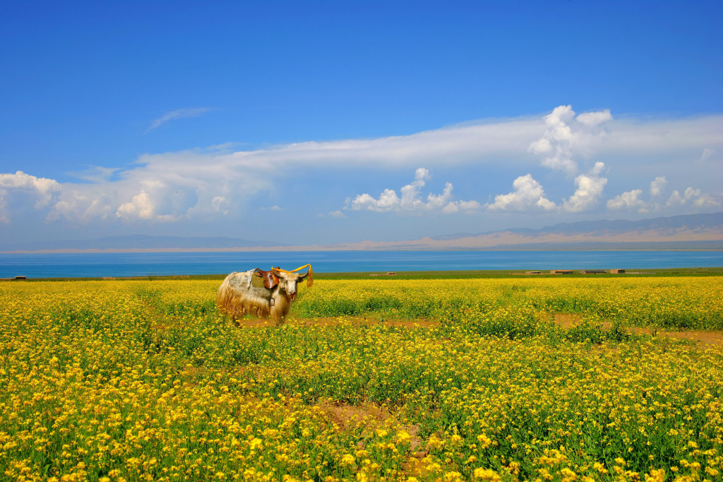 Rapeseed crop by Qinghai Lake