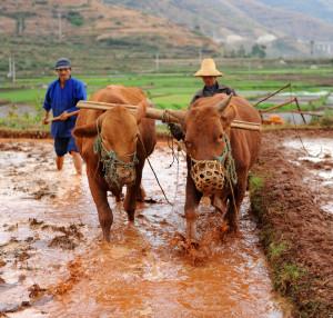 rice farmer ploughing muddy field with ox, dali