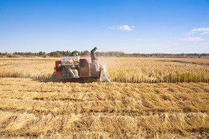 shutterstock_62084215 Hunan, Farm worker harvesting rice